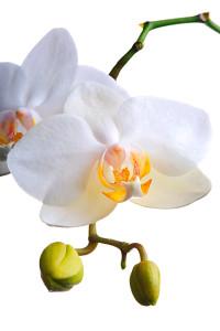 Digitális fotózás 10 Orchidea fajták