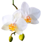 Digitális fotózás 9 Orchidea fajták